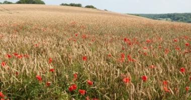 poppies en grain on sloping hills