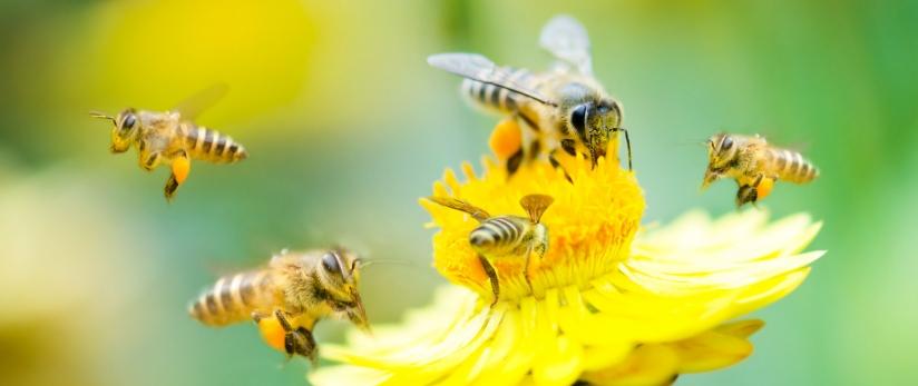 Bijen bestuiven een bloem