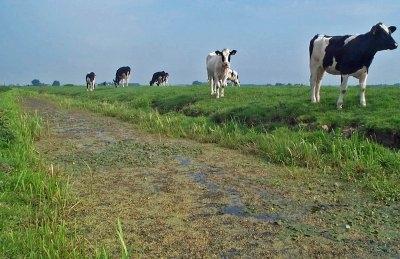 Foto: koeien in de wei langs een sloot