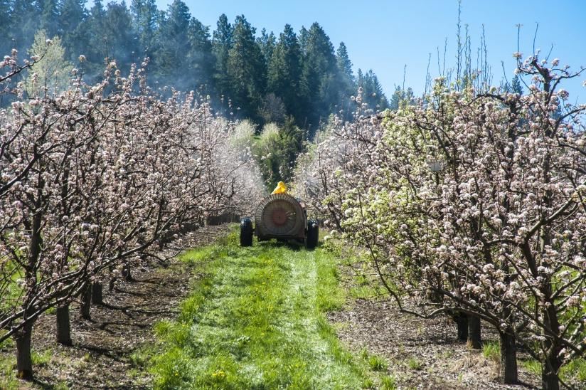 Spraying apple trees